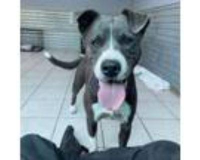Adopt Hailey a Border Collie, Mixed Breed
