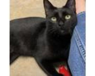 Adopt Reina a All Black Domestic Shorthair / Mixed cat in Houston, TX (32052018)