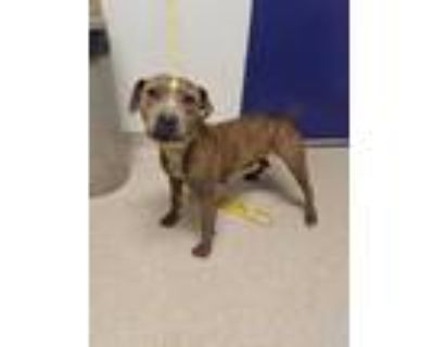 Adopt *ROMONA a Brindle American Pit Bull Terrier / Mixed dog in Bakersfield
