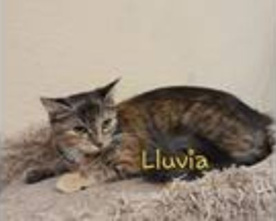Lluvia, Maine Coon For Adoption In Houston, Texas