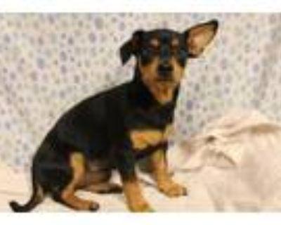Adopt A554329 a Dachshund, Mixed Breed