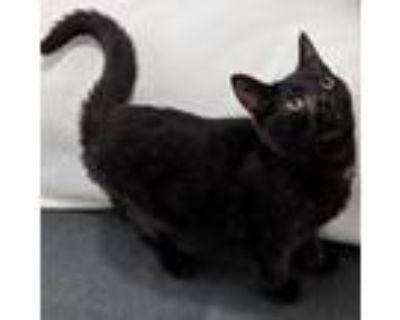 Adopt Baloo - ATL a Domestic Short Hair