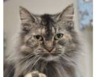 Adopt Miss Kitty a Domestic Long Hair, Tortoiseshell