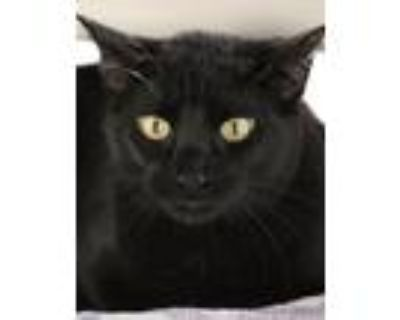 Adopt Pirelli a Domestic Shorthair / Mixed (short coat) cat in North Fort Myers