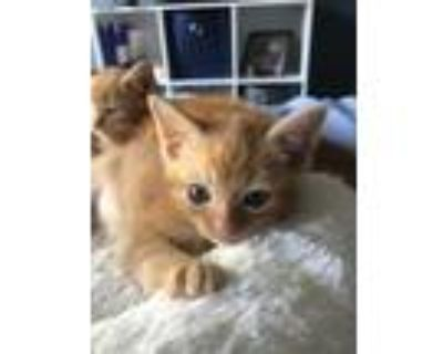 Adopt Salsa a Orange or Red Domestic Shorthair / Domestic Shorthair / Mixed cat