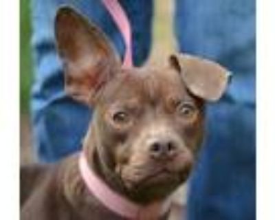 Ruthie, American Pit Bull Terrier For Adoption In Chester Springs, Pennsylvania