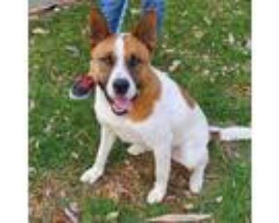 Adopt YOSHI a White - with Brown or Chocolate Akita / Mixed dog in Pasadena