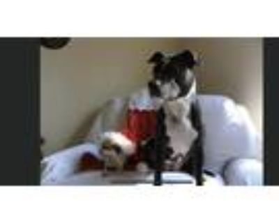 Adopt Kailan a Black - with White American Pit Bull Terrier / Mixed dog in