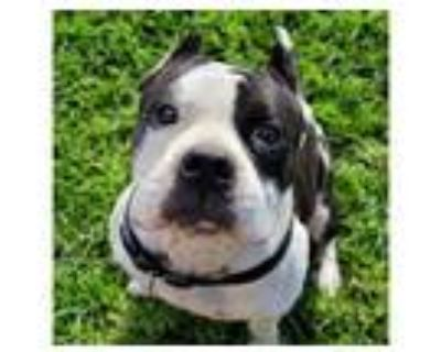 Adopt *BRUCE a Black - with White American Pit Bull Terrier / Mixed dog in