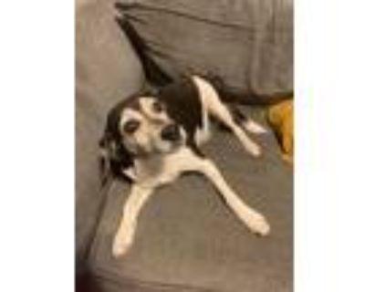 Adopt Archie a Hound, Beagle
