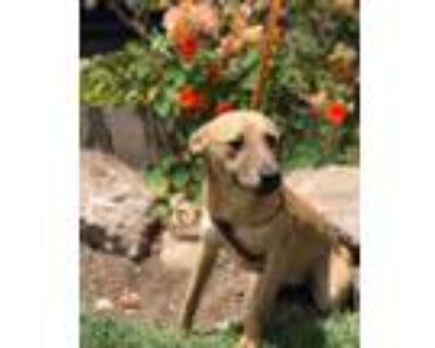 Adopt Penny a Tan/Yellow/Fawn - with White Pit Bull Terrier / Jack Russell