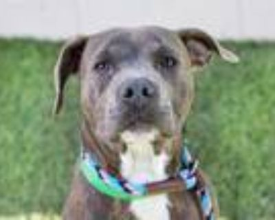 Adopt BALOO a Brindle - with White American Pit Bull Terrier / Mixed dog in