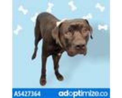 Adopt BROCK a Black Cane Corso / Labrador Retriever / Mixed dog in Gardena
