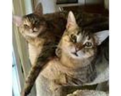 Billie Jean, Domestic Shorthair For Adoption In Los Angeles, California