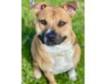 Adopt Honcho a Brown/Chocolate American Pit Bull Terrier / Mixed dog in