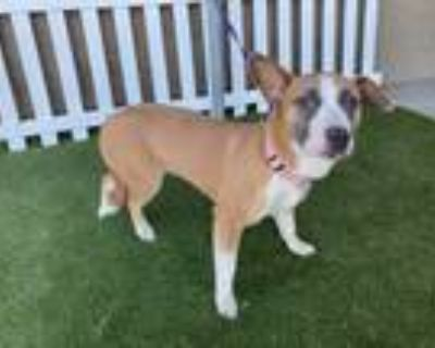 Adopt MAMAS a Tricolor (Tan/Brown & Black & White) American Pit Bull Terrier /