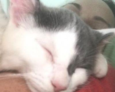 Mousie - Domestic Medium Hair - Kitten Male