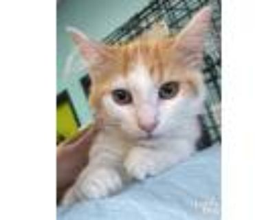 Adopt Dessie a Orange or Red (Mostly) Domestic Longhair / Mixed (long coat) cat