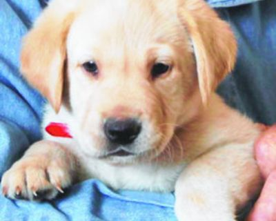 Lab Puppies AKC Yellow, Male 2 available, ready to go! Vet checked $875 each + state...
