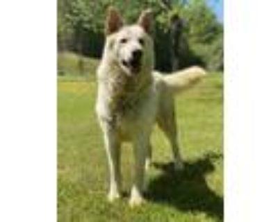 Adopt Basilisk a Tan/Yellow/Fawn Shepherd (Unknown Type) / Mixed dog in