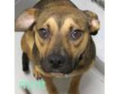 Adopt MINT a Pit Bull Terrier, Mixed Breed