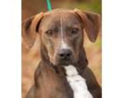 Adopt Troy a Labrador Retriever, Hound
