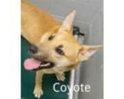 Adopt COYOTE a Labrador Retriever, Mixed Breed