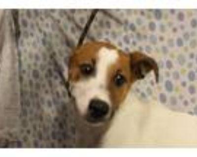Adopt LILLY a Australian Cattle Dog / Blue Heeler, Border Collie