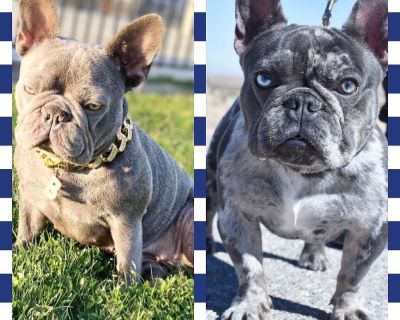 Lilac Merle French Bulldog Puppies