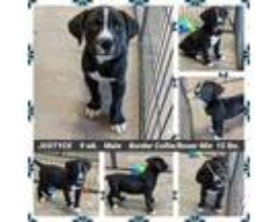 Adopt JUSTYCE a Border Collie, Boxer