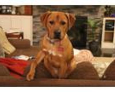 Adopt Lucy a Brown/Chocolate - with White Rhodesian Ridgeback / Hound (Unknown