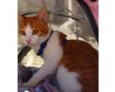 Adopt Marmalade (SPECIAL NEEDS Manx) a Orange or Red Tabby Domestic Shorthair