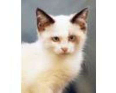 Adopt Clarence a Siamese, Manx