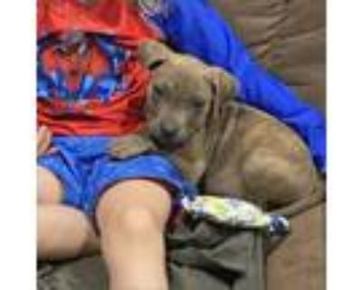 Adopt Alex a Gray/Silver/Salt & Pepper - with Black Pit Bull Terrier / Mixed dog