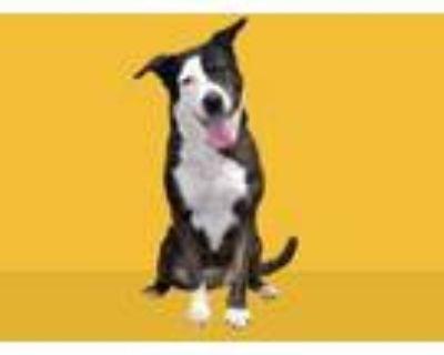 Adopt TIPPY a Australian Cattle Dog / Blue Heeler