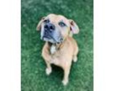 Adopt Copper a Mixed Breed (Large) / Pit Bull Terrier / Mixed dog in Portsmouth