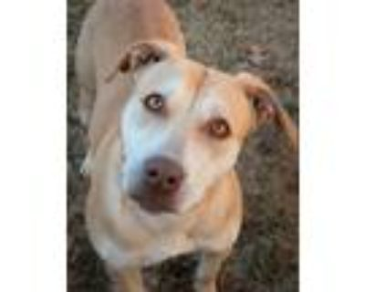 Adopt Blossom a Tan/Yellow/Fawn Pit Bull Terrier / Mixed dog in Shreveport