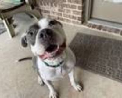 Adopt Helen a White - with Gray or Silver Pit Bull Terrier / Staffordshire Bull