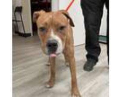 Adopt ARE-Stray-ar362 a Brown/Chocolate Mixed Breed (Large) / Mixed dog in