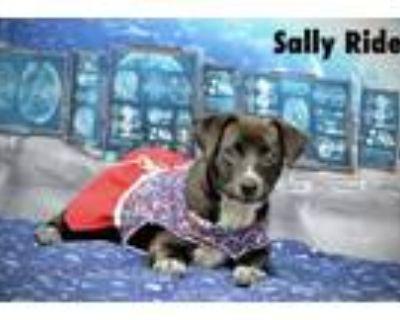 Adopt Sally Ride a Hound, Labrador Retriever