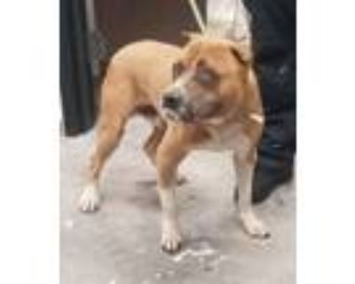 Adopt Captain America a Pit Bull Terrier / Mixed dog in LAFAYETTE, LA (31517266)
