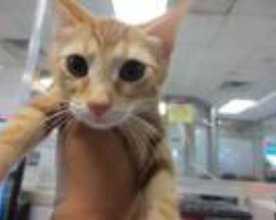 Adopt PHOEBE a Orange or Red Tabby Domestic Shorthair / Mixed (short coat) cat