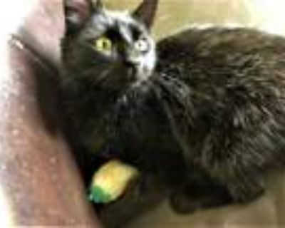Adopt Othello a Black (Mostly) Domestic Shorthair (short coat) cat in Lombard