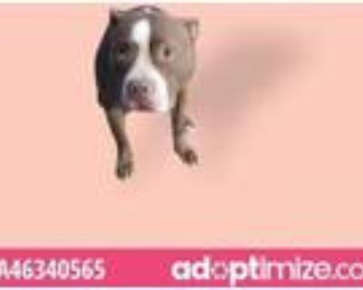 Adopt Bocky a Pit Bull Terrier, Mixed Breed