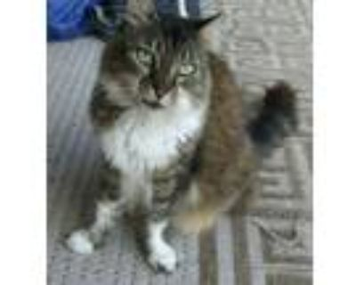 Adopt Long Hair Beauty.. a Tiger Striped Domestic Longhair (long coat) cat in Ft