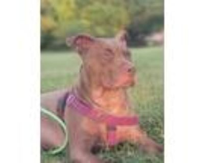 Adopt ROSIE a Brown/Chocolate American Pit Bull Terrier / Mixed dog in