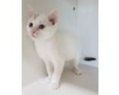 Adopt Marshmellow a White (Mostly) Domestic Shorthair cat in Rochester