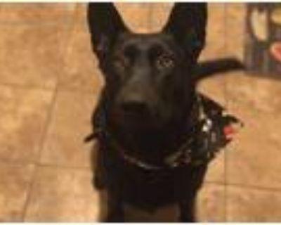 Adopt Kaiko a Black German Shepherd Dog / Mixed dog in San Gabriel