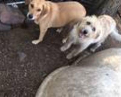 Adopt Little Buddy a Labrador Retriever, Golden Retriever
