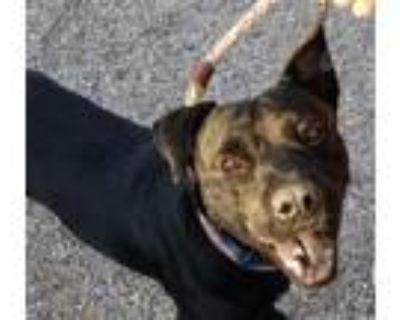 Adopt PANTHER* a Labrador Retriever, Mixed Breed